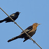 Red-winged Blackbird with Female Great-tailed Grackle
