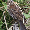 Female Red-winged Blackbird with Nesting Material