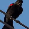 Red-winged Blackbird, Highway 162, Butte County, 19-Jan-2014