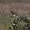 Red-winged Blackbirds (female)