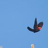 Red-winged Blackbird, Carman Valley, 13-June-2014