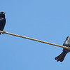 Red-winged Blackbird on a Wire with a Brown-headed Cowbird