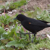 Red-winged Blackbird, Joseph D Grant County Park, 29-March-2014