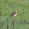 Western Meadowlark, Arastradero Preserve, 2-April-2013
