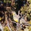 Western Meadowlark, Sycamore Slough Road, Colusa County, CA, 8-Dec-2013
