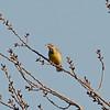 Western Meadowlark at Cosumnes River Preserve