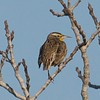 Western Meadowlark - Juvenile