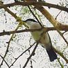 Black-backed Puffbird