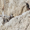 Peregrine Falcon on Rock, Point Lobos, 23-Sept-2013