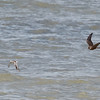 Peregrine Falcon Chasing a Black-bellied Plover (it got away!)
