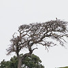 Prairie Falcon on top of tree