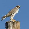 Prairie Falcon with Kangaroo Rat