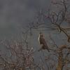 Prairie Falcon on Marsh Road above Milpitas, 1-9-2013
