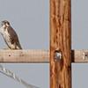 Prairie Falcon on power pole