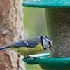 Blue Tit (Cyanoses caeruleus)