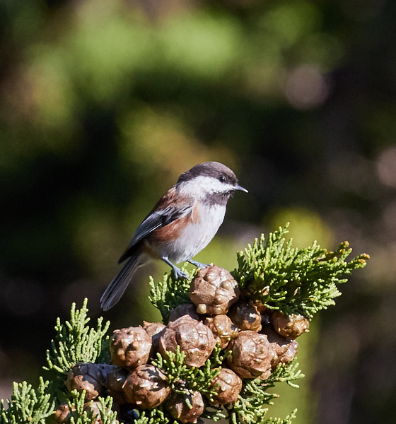 Chestnut-backed Chickadee (neglectus subspecies) at the Radio Towers