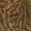 Chestnut-backed Chickadee at Nesthole, Gilroy Hotsprings Road, Santa Clara County, 6-Apr-2013