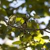 Chestnut-backed Chickadee, Stevens Creek County Park