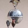 Female Black-headed Grosbeak, Chestnut-backed Chickadee, and House Finch on Feeder