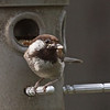Chestnut-backed Chickadee, Yellow-rumped Squatters, McClellan Ranch, 7-April-2013