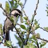 Chestnut-backed Chickadee, Burleigh Murray Ranch State Park, 8-Mar-2014