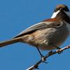 Chestnut-backed Chickadee (Phipps Ranch)