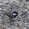 Coal Tit (Periparus ater)