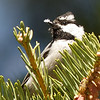 Mountain Chickadee at Quaking Aspen Campground