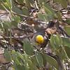 Verdin (wild) at the Arizona Sonoran Desert Museum