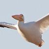 American White Pelican, Hayward Regional Shoreline, Alameda County, 19-Oct-2013