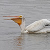 American White Pelican, Palo Alto Baylands, 3-Aug-2013