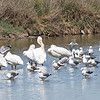 American White Pelicans, Forster's Tern, and California Gull, Palo Alto Flood Control Basin