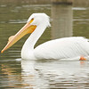 American White Pelican with horn