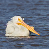 American White Pelican with Breeding Horn