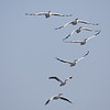 A Group of American White Pelicans Flying Overhead