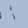 American White Pelican, Sunol Regional Wilderness, Alameda County, 3-May-2014