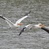 American White Pelicans in Flight, Coyote Lake CP, Santa Clara County, 5-April-2014