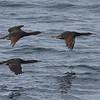 Brandt's Cormorants in flight - Pigeon Point Lighthouse