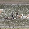American White Pelicans and Double-crested Cormorants, Coyote Lake CP, Santa Clara County, 5-April-2014