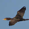 Double-crested Cormorant Overhead, Fitzgerald Marine Reserve, San Mateo County, 5-Oct-2013