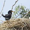 Doubled-crested Cormorant on Nest, Moon Glow Dairy, Monterey County, 11-Sept-2013