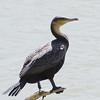 Great Cormorant, Lake Duluti, Tanzania, 31-Jan-2014