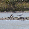 Royal Tern, Neotropic Cormorant, Caspian Terns, Forster's Tern, and Laughing Gull