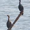 Pelagic Cormorant Pair