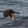 Pelagic Cormorant in flight - Pigeon Point Lighthouse