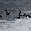 Pelagic Cormorants in Flight, Fitzgerald Marine Reserve, San Mateo County, 11-Jan-2014