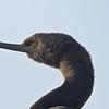 Pelagic Cormorant at Monterey Harbor, 1-10-2013