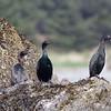 Pelagic Cormorants, Prince William Sound