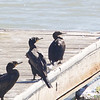 Pelagic Cormorant with Double-crested Cormorants, Coyote Point, San Mateo County, 4-Sept-2013