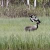 Northern Lapwing (Vanellus vanellus) Dive-bombing a Common Crane (Grus grus)
